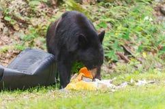 Bear eating Trash. Royalty Free Stock Photography