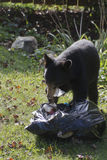 Black Bear Eats Paper Out of the Garbage Royalty Free Stock Photos