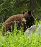 Black Bear Eatting Grass and Clover Stock Photography