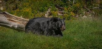 Black bear enjoying the summer sun. 1 Royalty Free Stock Image