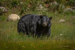 Black bear enjoying the summer sun Stock Images