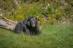 Black bear enjoying the summer sun. 1 Stock Photography