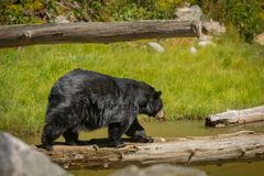 Black bear enjoying the summer sun. 1 Stock Image