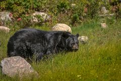 Black bear enjoying the summer sun. 1 Royalty Free Stock Photos
