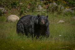 Black bear enjoying the summer sun. 1 Royalty Free Stock Images