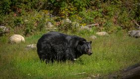 Black bear enjoying the summer sun. 1 Royalty Free Stock Photography