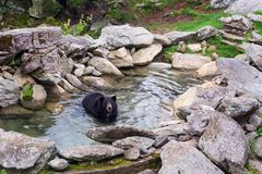 Black bear enjoying the water at Grandfather Mountain. royalty free stock photography