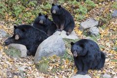 Black bear family Royalty Free Stock Image