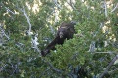 Black bear feeding Stock Photography