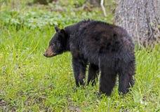 A Black Bear is feeding on green grass. Cades Cove, a Black Bear walking through green grass stock photography