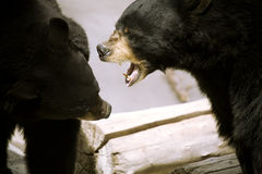 Black bear fighting. Two black bears fighting and showing it's teeth Royalty Free Stock Photography