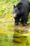 Black Bear Fishing, British Columbia, Canada Stock Images