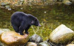 Black Bear Fishing in River, British Columbia, Canada Stock Images