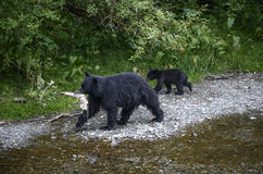 Black bear fishing. A black bear sow and her cub leave the creek after picking up a chum salmon.  Tongass national forest, Alaska Stock Photography