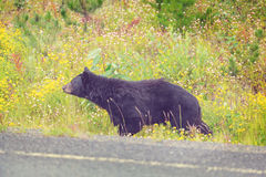 Black bear. In the forest Stock Photos