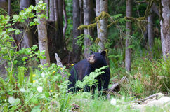 Black bear in the forest in British Columbia Canada. The American black bear is a medium-sized bear native to North America. Black bears are omnivores with their Stock Photos