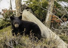 Black bear in the forest. A young black bear in yellowstone park on silvan pass royalty free stock image