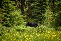 Black Bear in forests of Banff and Jasper National Park, Canada Stock Photo