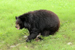 Black bear in grass Royalty Free Stock Photo