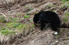 Black bear grazing Stock Photos