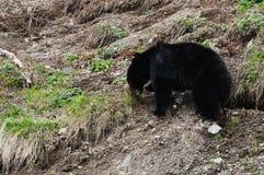 Black bear grazing stock photos
