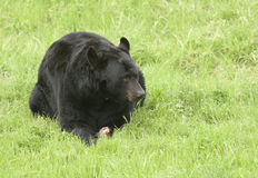 Black bear on green grass with piece of meat between paws in Cal Royalty Free Stock Photos