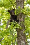 Black bear high in tree Royalty Free Stock Photo