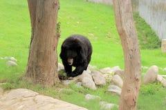 Black bear Himalayan Royalty Free Stock Photography