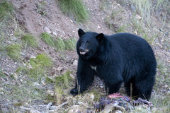 Black Bear. I found this young black bear eating and finally caching its roadkill find in Big Sky Montana Stock Photography