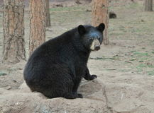 Black Bear Royalty Free Stock Images