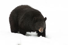 Free Black Bear In The Snow Royalty Free Stock Images - 18767729