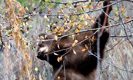 Black  bear at Jackson Hole Wildlife eating berries Stock Image