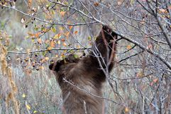 Black  bear at Jackson Hole Wildlife eating berries Royalty Free Stock Photos