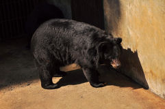 Black bear. Large bear with black fur at the zoo Stock Images