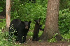 Black Bear. Little black bear cub and mother hiding behind a tree Stock Photo