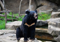 Black bear. Live at zoo Royalty Free Stock Photo