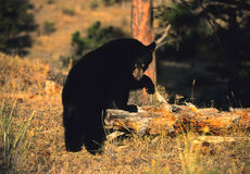 Black Bear on Log Stock Images