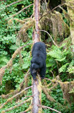 Black bear on a log Royalty Free Stock Images