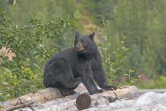 Black Bear on a Log Pile in Alaska Stock Image