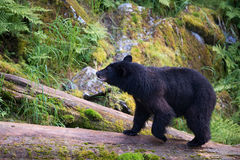 Black bear on a log royalty free stock photography