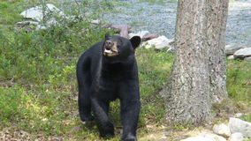 Black Bear Looking for Food in My Front Yard. This nuisance bear visits my home in the Poconos, Pennsylvania often while looking for food royalty free stock photos