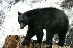 Black Bear looking for Salmon at Prince Of Whales in Alaska Royalty Free Stock Photography