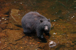 Black Bear looking for Salmon at Prince Of Whales in Alaska Stock Photo