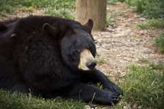 Black Bear Lounging Stock Photo
