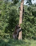 Black bear mom and cub. American black bear mother instructs her cub to stay in the tree Stock Image