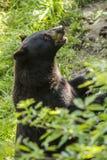 Black bear. In Montebello Park, Outaouais, Quebec, Canada, wild-life Royalty Free Stock Images