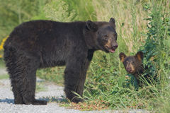 Black bear mother with cub. Alligator River NWR. Black bear (Ursus americanus) mother standing in the road with young cub peeking out from the bushes. Alligator royalty free stock photography