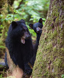 Black bear mother and cub Stock Photos