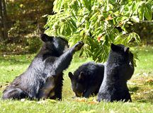 Black Bear Mother and Cubs fatten up for winter. Female black bear ( Ursus americanus)  and two cubs about 9 months old eating chestnuts in Autumn Royalty Free Stock Photography