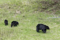 Black bear family in Yellowstone. A black bear mother and her three older cubs in Yellowstone National Park stock image
